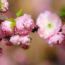 Pretty in pink by debfaraday