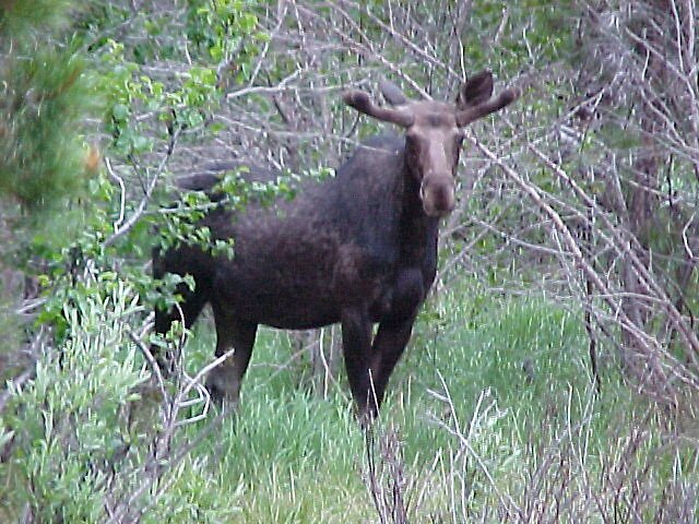 The Moose is loose-Is it safe to come out? by eunicewright
