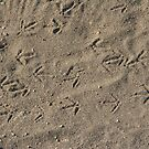 Quail tracks by Chris Clarke
