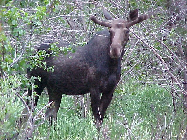 The Moose is loose- Moose on Holiday by eunicewright