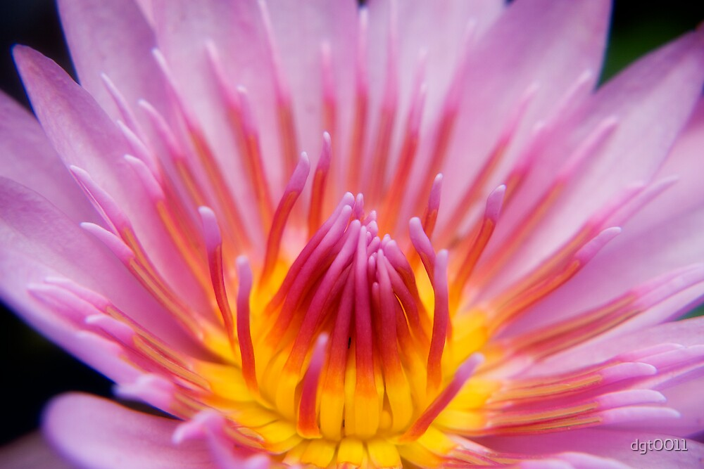 Water Lily by dgt0011