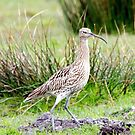 Curlew by mikebov