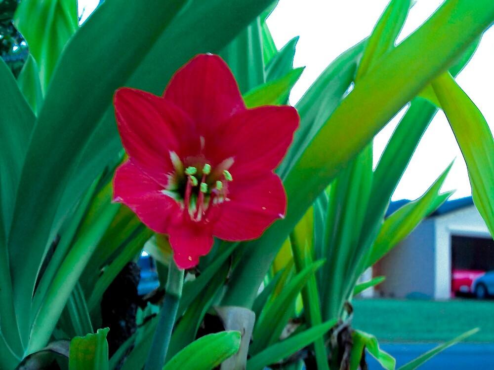 Red flower by footyman