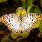 White Peacock by BGSPhoto