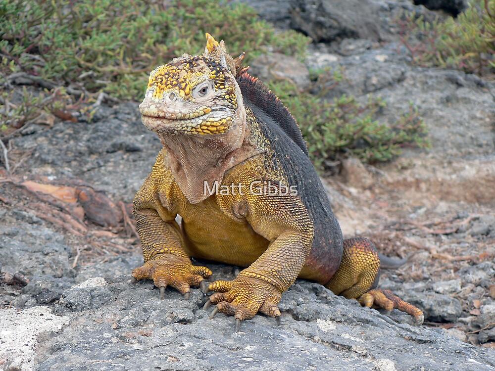 Galapagos Land Iguana by Matt Gibbs
