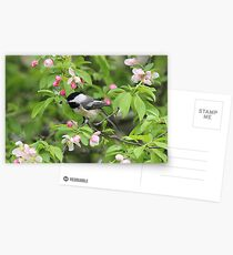 Chickadee in the Apple Blossoms Postcards