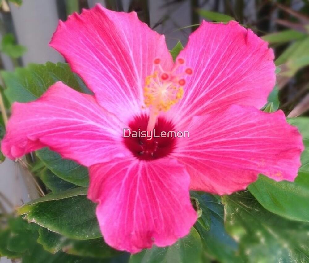 Pink Hibiscus Flower Photograph By Daisylemon Redbubble