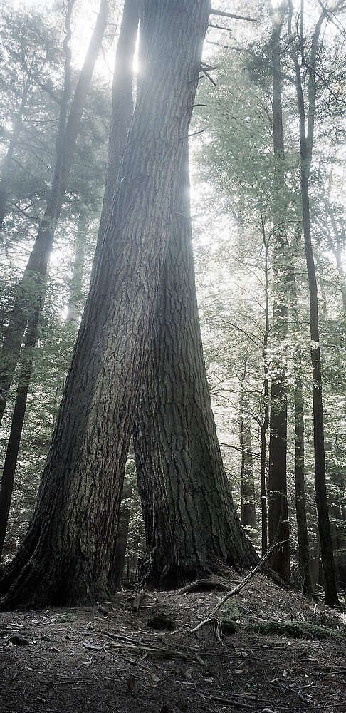 Twin hemlock trees in Cook Forest PA by jarrid spicer