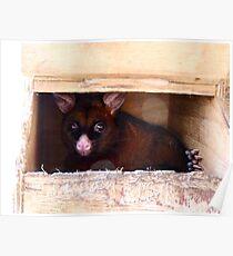 Close The Door!! I Don't Enjoy Sunlight.. Possum -NZ Poster