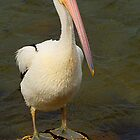I am Pelican by Peter Krause
