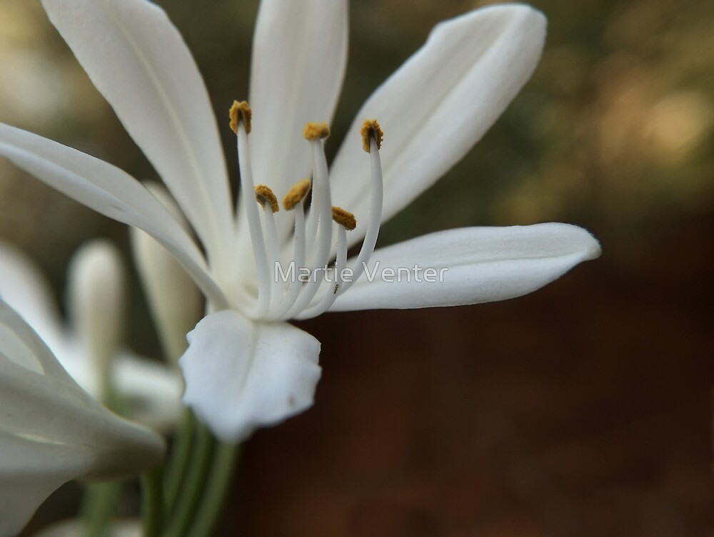 White Agapanthus by Martie Venter