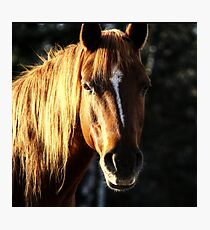 Golden Horse Portrait Photo Photographic Print