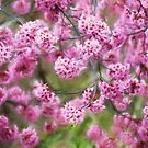 Frühlingsimpressionen - Kirschblüten von Celeste Mookherjee