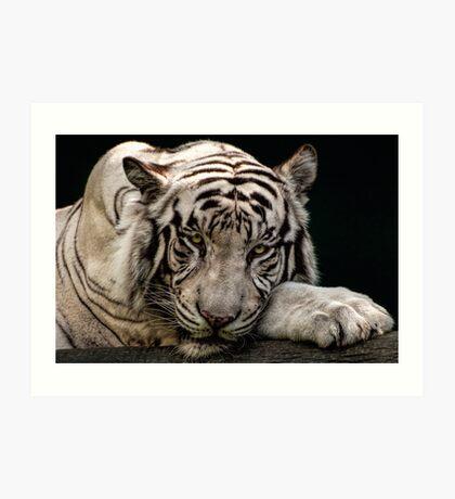Weißer Tiger Kunstdruck