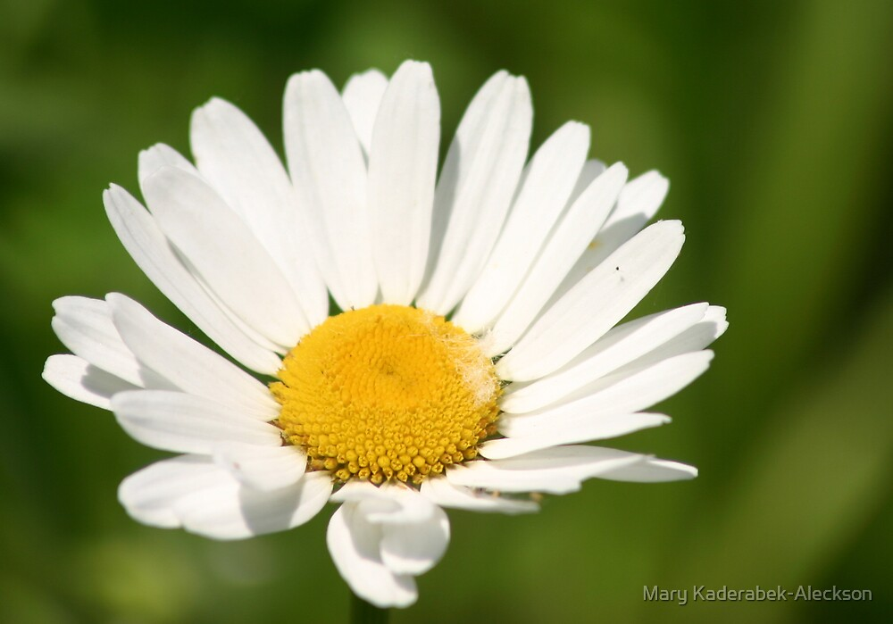 The White Daisy by Mary Kaderabek-Aleckson