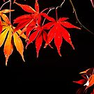 Japanese Maple - Autumn Colour by Darren Edwards