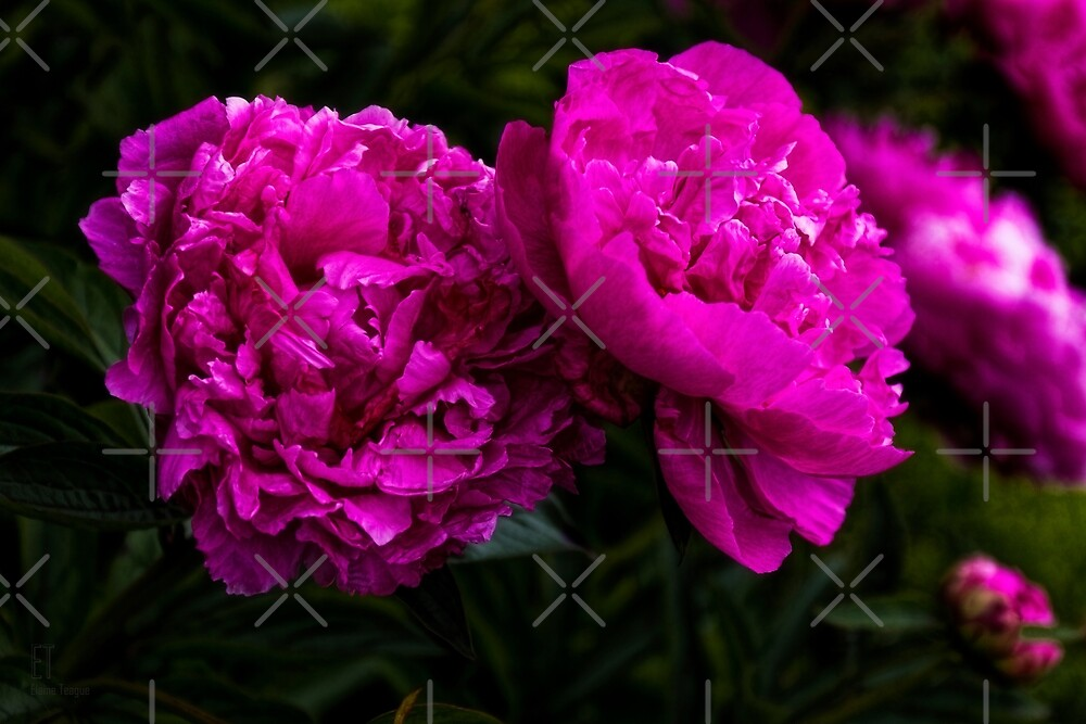 Peonies by Elaine Teague