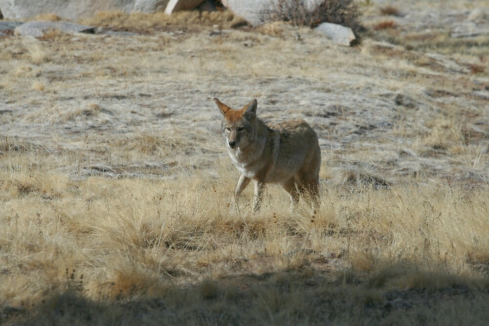 Coyote 2 by Chris Clarke