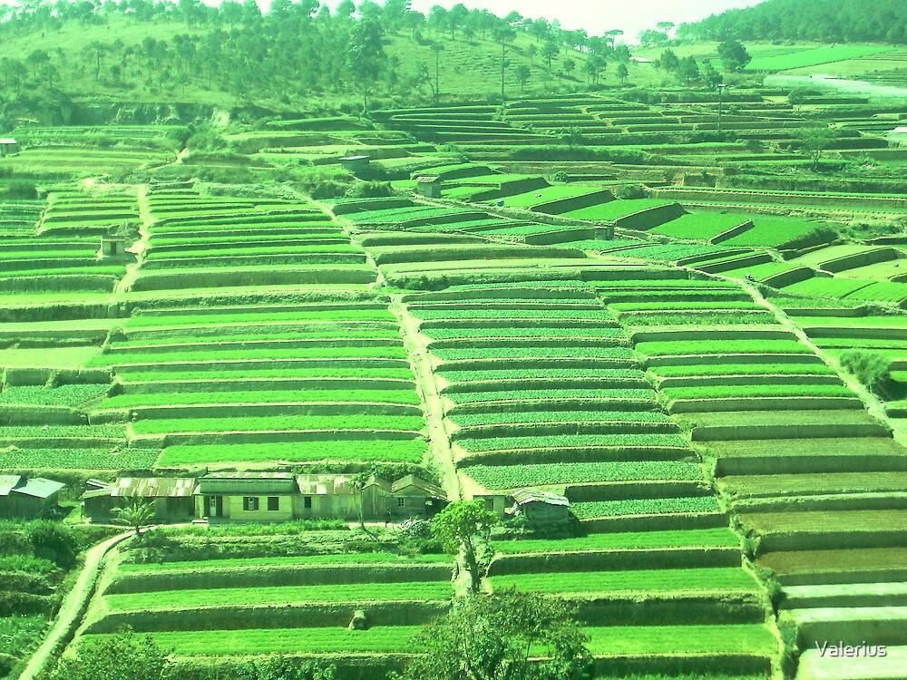 Rice Terraces, Dalat by Valerius