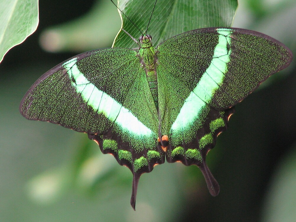 Green with envy Butterfly by sgpjroh
