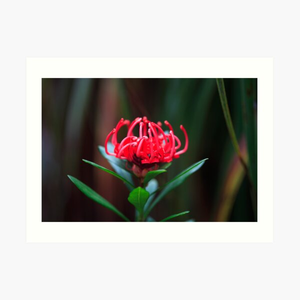 Waratah Flower, Mt Field, Tasmania Art Print