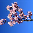 Pink Petals on Blue by Sarah Donoghue