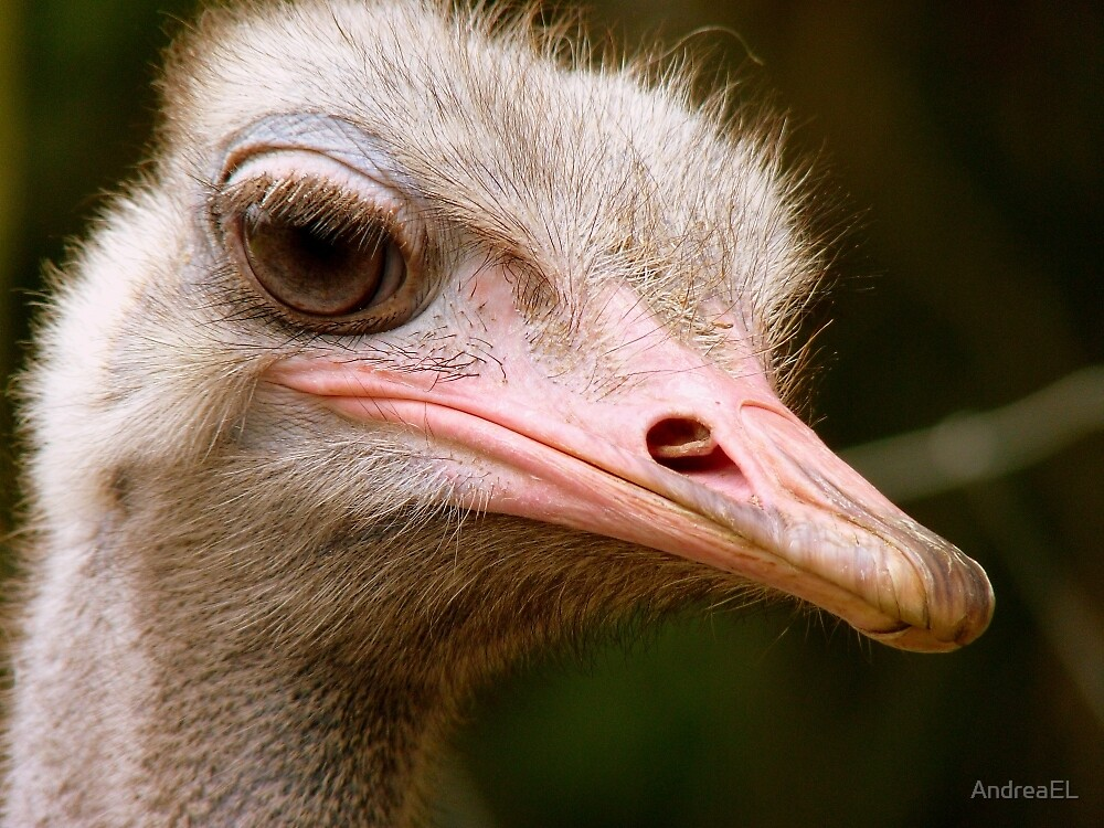 Who Said I Bury My Head In The Sand? - Ostrich - NZ by AndreaEL