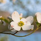 Dogwood Tree Bloom by milepost430