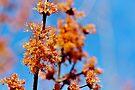 Flowering Maple by Kathleen Daley