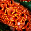 Orange cut flower by Jonesyinc