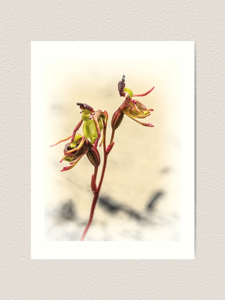 Alternate view of Small Duck Orchid Art Print