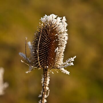 Frosty Teasel by Dalyn