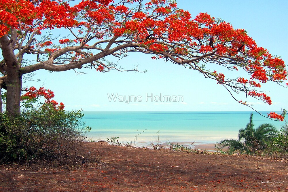 Flame Tree by Wayne Holman