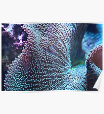 Haddon's Carpet Sea Anemone, Blue/Green Poster