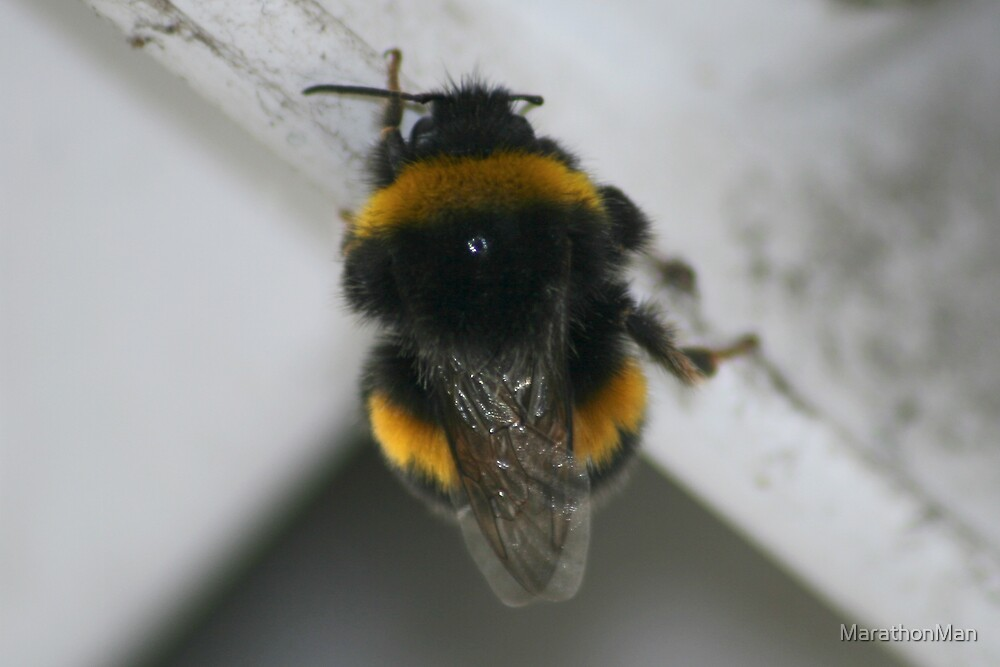 January Bumble Bee by MarathonMan