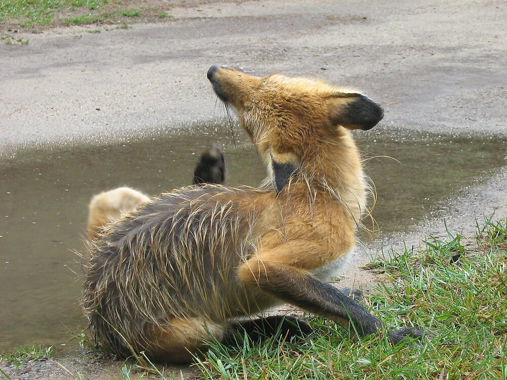 fox relaxing by Jessica  Taylor-Cassan
