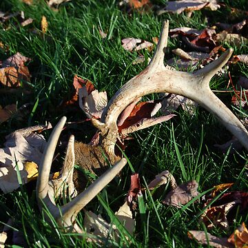 Antlers in the Leaves by ronibgood