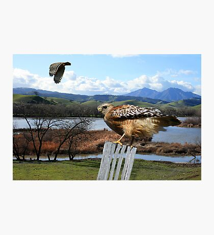 Red-shouldered Hawk Photographic Print