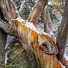 Snowgum Beauty by Harry Oldmeadow