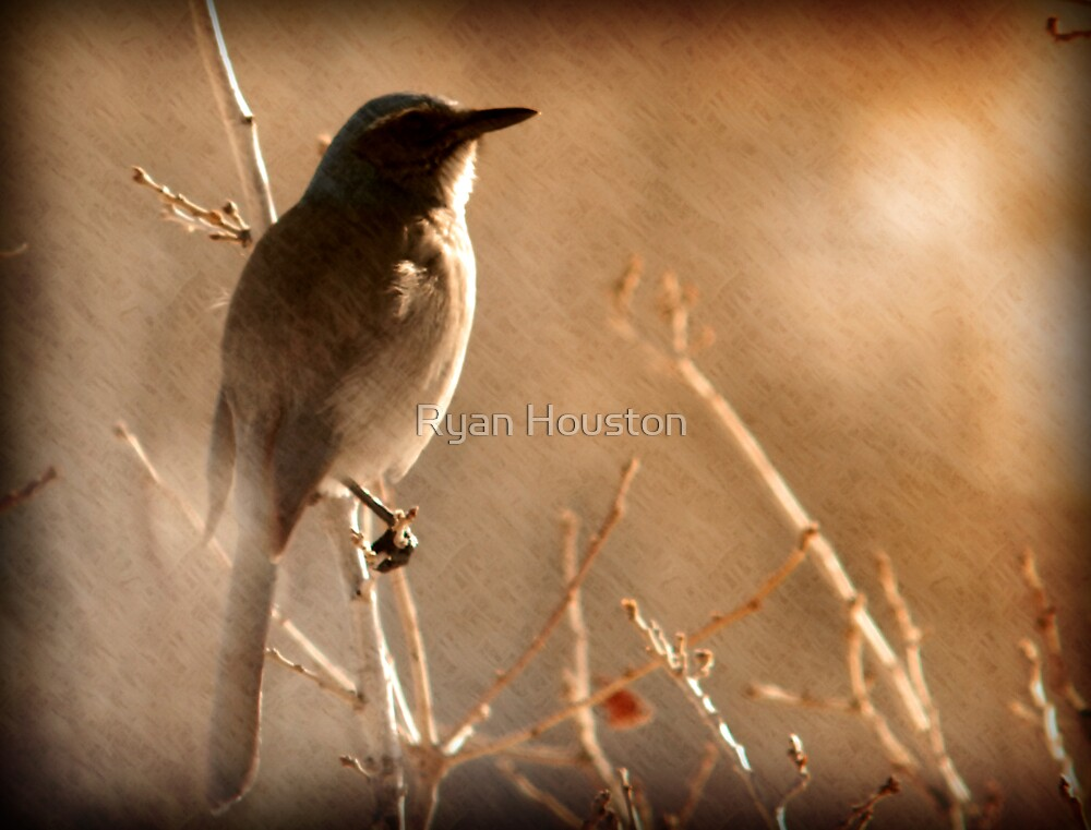 Scrub Jay - Winter Tree by Ryan Houston