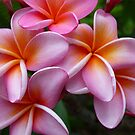 Fabulous Tropical Pink Frangipani  by Virginia McGowan