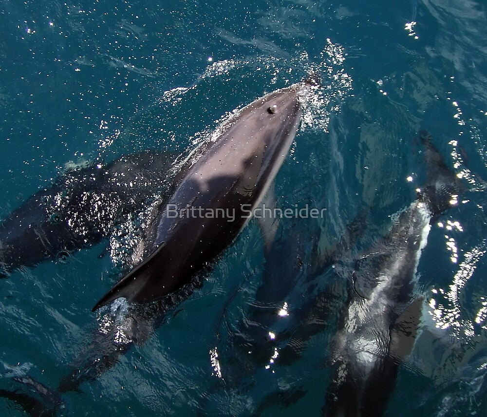 Dusky Dolphins at Play #2 by Brittany Schneider