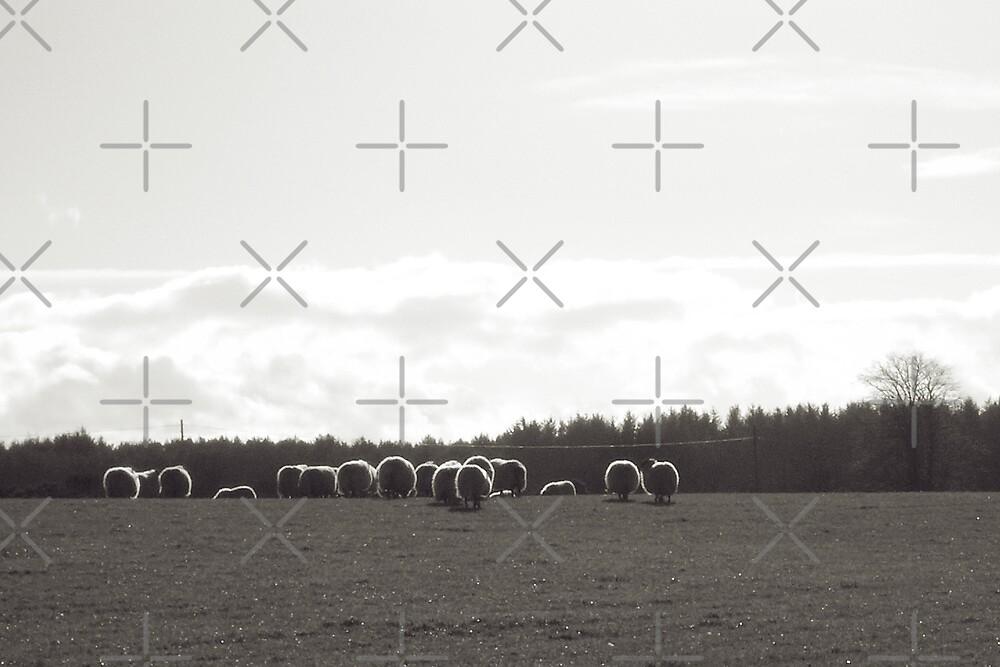 Sheep at Dalvey by Tez Watson
