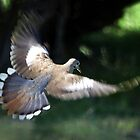 White Tail Dove In Flight by Penny Odom