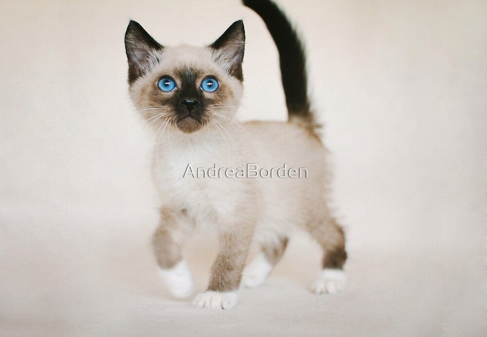 Snowshoe kitten quot by andreaborden redbubble