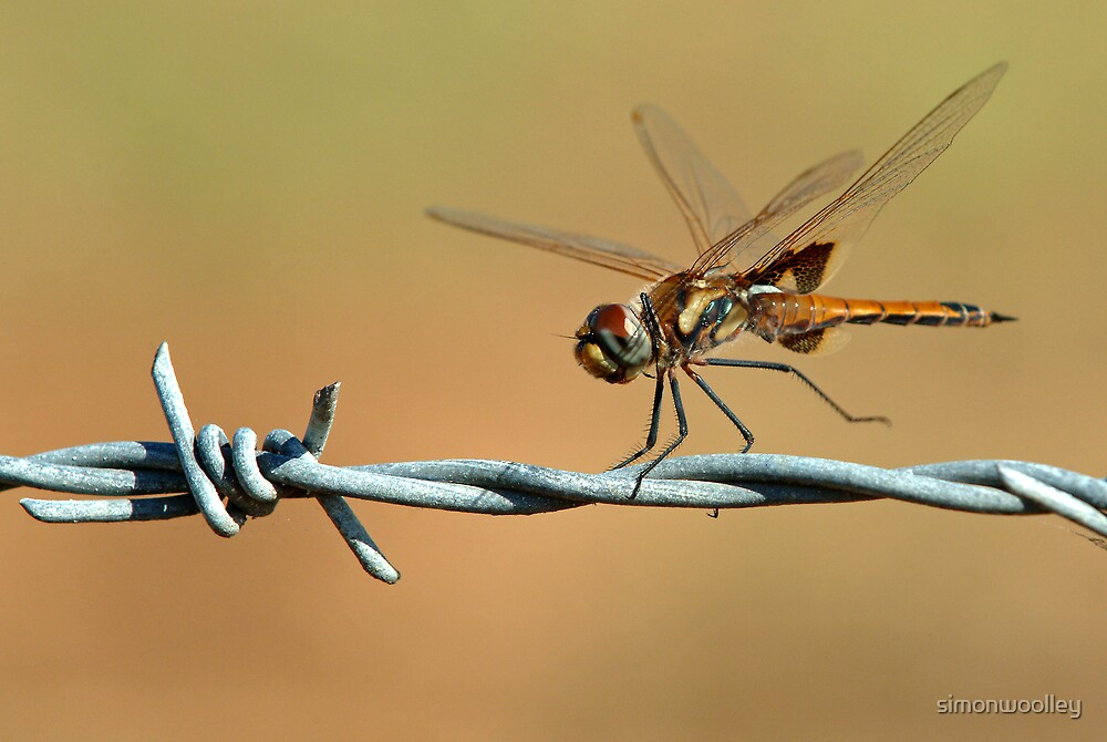 Dragonfly on barbwire by simonwoolley