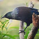 Tui.......the first of many.......!! by Roy  Massicks