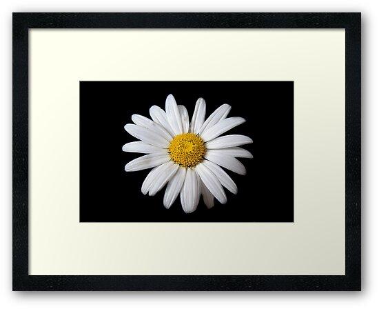 Daisy by Richard Heyes