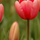 Just Tulip by Lorraine Deroon