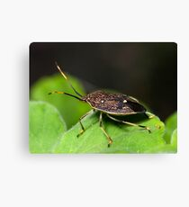 Stink Bug Canvas Print